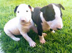 Bull Terrier a venda - Angola