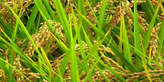 Investir dans la riziculture, c'est rentable et non périssable - Côte d'Ivoire