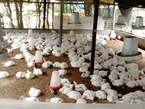 Vente poulet - Côte d'Ivoire
