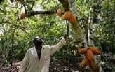 Champ De Cacao à Vendre  - Côte d'Ivoire