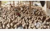 Poulets de chair  - Côte d'Ivoire