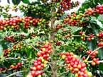 Plantation de Café Et Cacao - Côte d'Ivoire