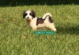 SPTZ/MALTESE CROSS PUPPIES - Kenya