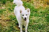 senior female purebred Japanese spitz  - Kenya