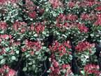 50 Acre Flower Farm - Kenya