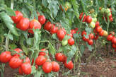 Tomatoes Available Whole Sale - Kenya