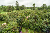 500 Acres Coffee Farm (Thika) - Kenya