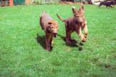 German Shepherd and Golden Retriever cross breed puppies - Kenya