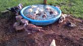 8weeks Muscovy Ducklings - Kenya