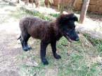 Mr Billy Pets - German Shepherds (puppies)  - Kenya