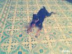 Rottweiler - Maroc