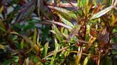 Ayapana plant - Mauritius