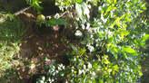 Citronnier Meyer  (citron vert) - Mauritius