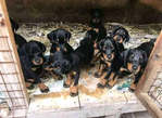 8 weeks old Rottweiler puppies for sale - Nigeria