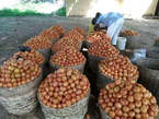 Baskets of tomatoes is available for sales - Nigeria
