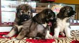 Caucasian shepherd puppies  - Nigeria