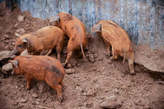 Duroc pig available - Nigeria