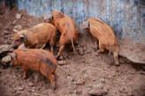 Duroc pig available - Nigeria