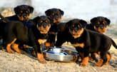 Rottweiler puppies - Nigeria