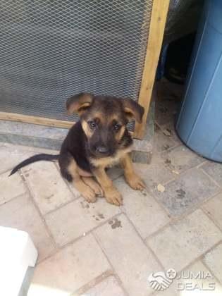Male & Female German Shepherd Puppies For Sale