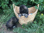 Caucasian puppies  - Nigeria