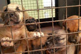 Boerboe puppies for sale at affordable Price - Nigeria