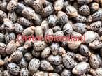 Improved Castor Seed (Brazilian) For Sale - Nigeria