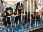 Rottweiler puppies for sale  - Nigeria