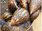 Baskets of snail is available for sale - Nigeria