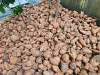 Orange Flesh Potatoes - Nigeria