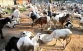 Salah rams for sale - Nigeria