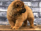 Chow chow 8 weeks old  - Nigeria