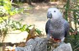 Parrots for sale  - Nigeria