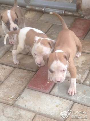 White Lovely Pitbull for Sales, Affordable Price and