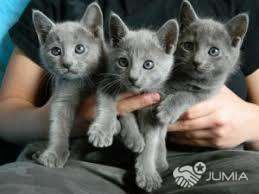 Blue Kittens For Sale : Russian blue kittens for sale kigali city jumia