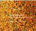 Piment (kani projet ) - Sénégal