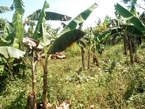 45 Acres of land in Nkokonjeru, Mukono with its tittle on sale at 17m per acre. - Uganda