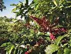 Coffee farm on sale - Uganda