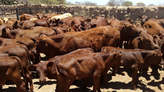 Bonsmara Cows  - Zambia