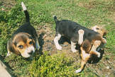 Beagle puppies - Zambia